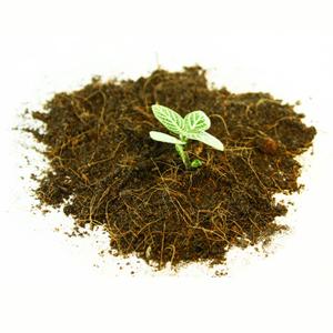 Plantago ovata zählt zu den Wegerich Pflanzen